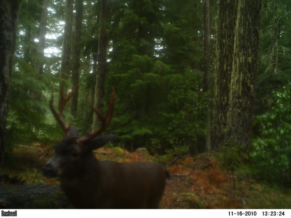 Oregon blacktail deer trail camera picture