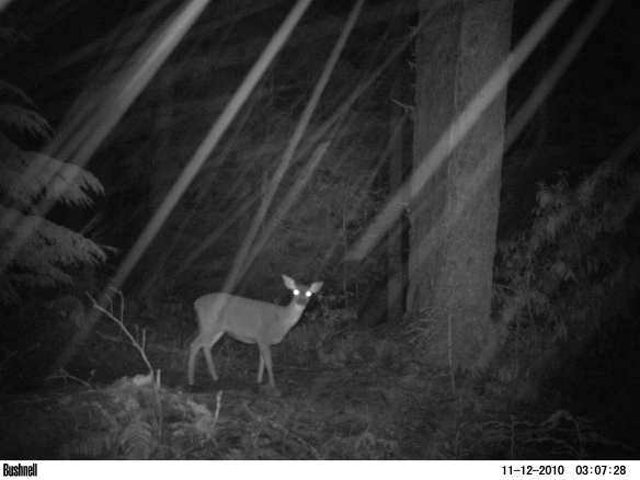 Blacktail does at night in the snow
